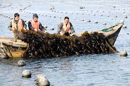 潍坊等地装运海带的车辆排起了长龙,养殖场的工人正忙着吊装海带.
