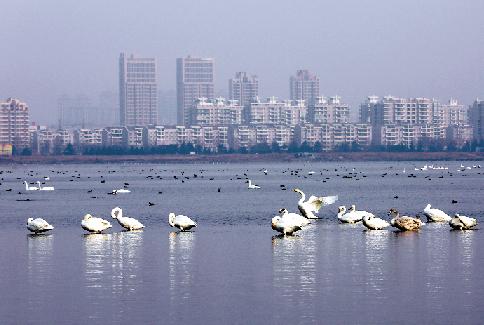 市区的绿岛湖,桑沟湾内大天鹅成群出现,数量逐年增加.