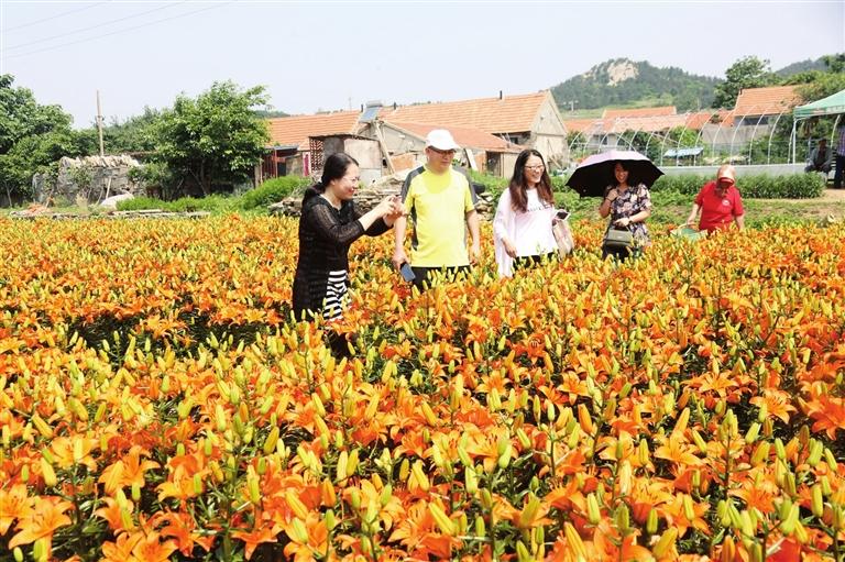 百合花园内种植了2万株食用甜百合.